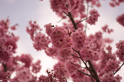 100410桜01.jpg